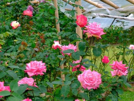 Фото шикарных роз из королевского парка 18