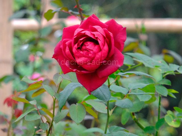Фото шикарных роз из королевского парка 19
