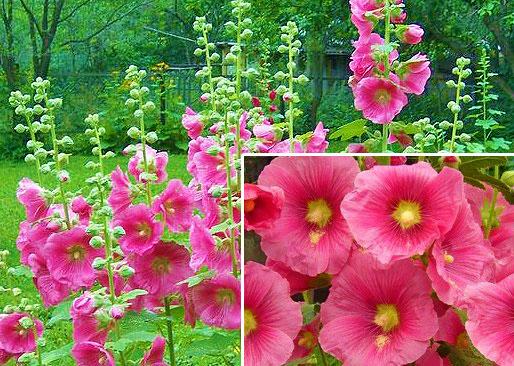 Цветок мальва многолетняя