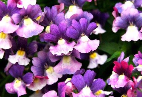 Сиреневые цветки нимезии