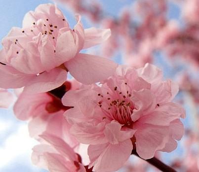Цветущая самоплодная вишня