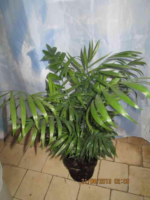 Мексиканская пальма Хамедорея
