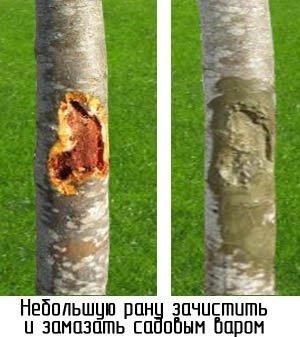 восстановление коры яблони