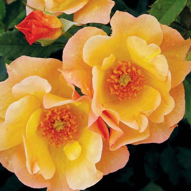 Осенняя обрезка канадских роз - Акадо-Гид