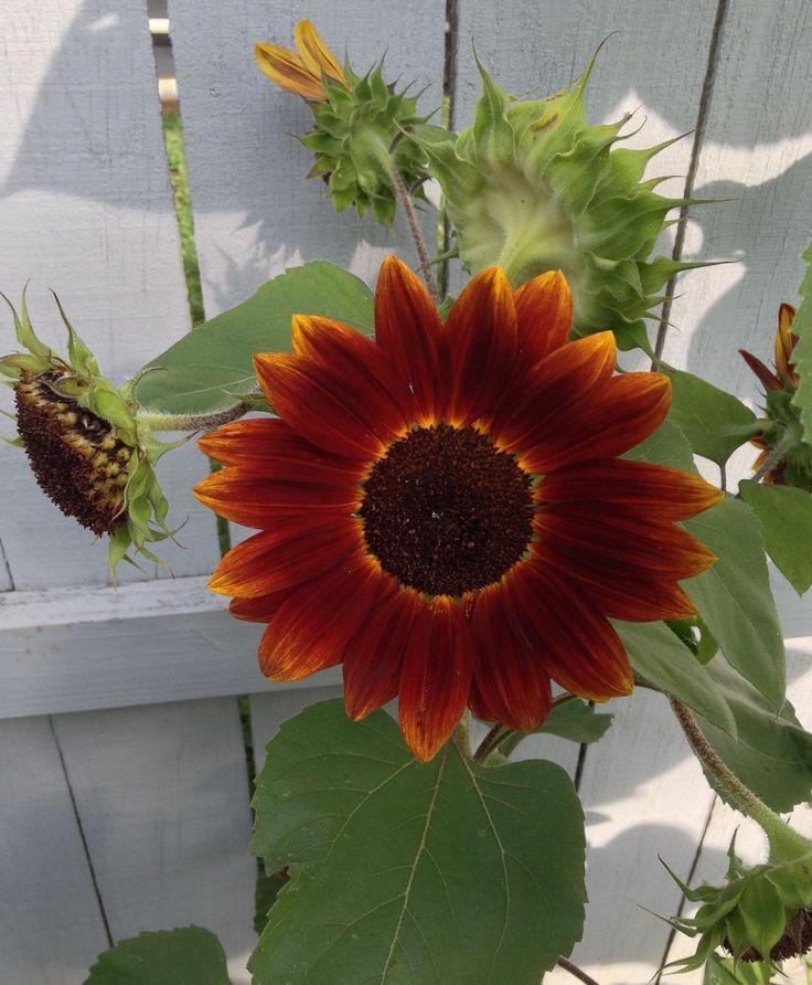 Солнечный цветок: сорта подсолнечника