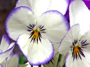 1289812842_1280x960_white-pansies-images (1)