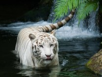 Animals_Beasts_White_tiger_030910_