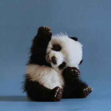 The cutest panda