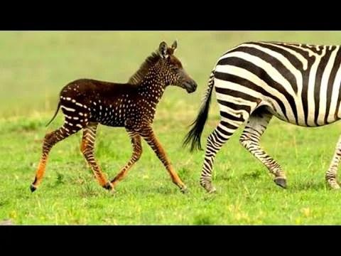 Baby Zebra Born With Spots 1funny Com