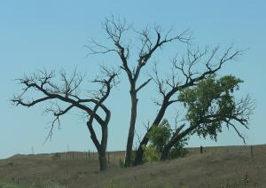 Kansas Tree