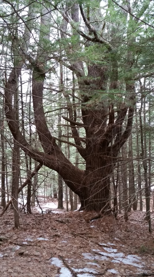 One of many big ole trees in the forest.