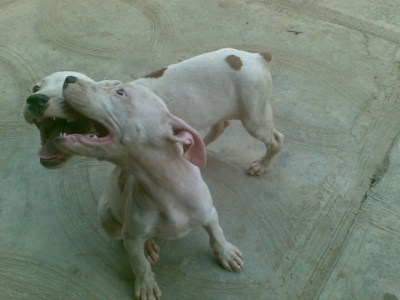Pure Pitbull Dog/puppy For Sale Call 08104035288