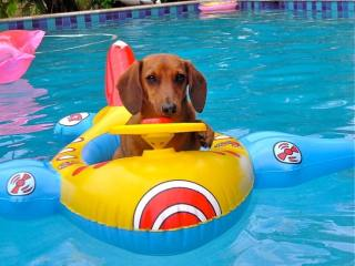 Image result for dog in pool