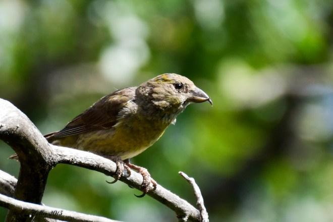 red crossbill female