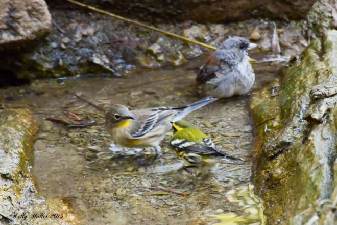 townsend's warbler 4