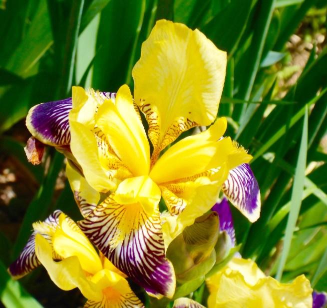 Iris Temptation