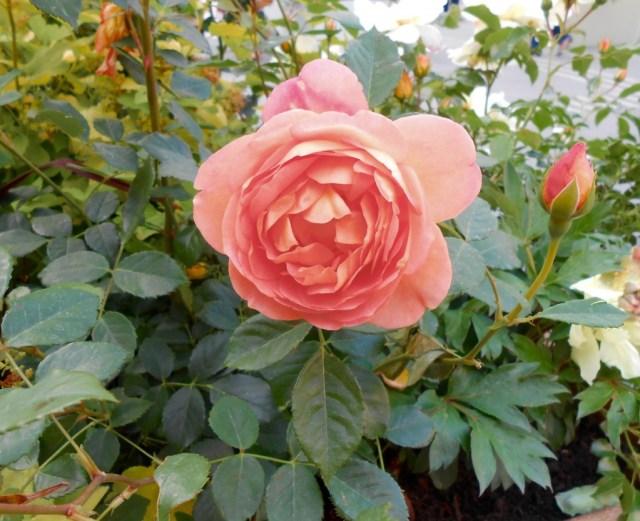 Rose4Tomorrow (1)