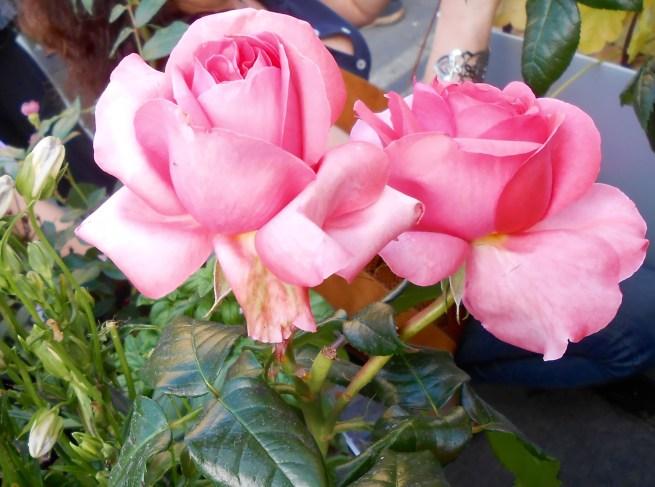 Rose4Tomorrow (2)