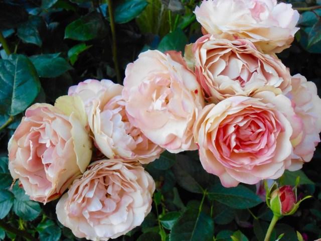 Rose4Tomorrow (4)
