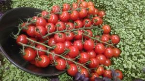Tomatoes Cascade