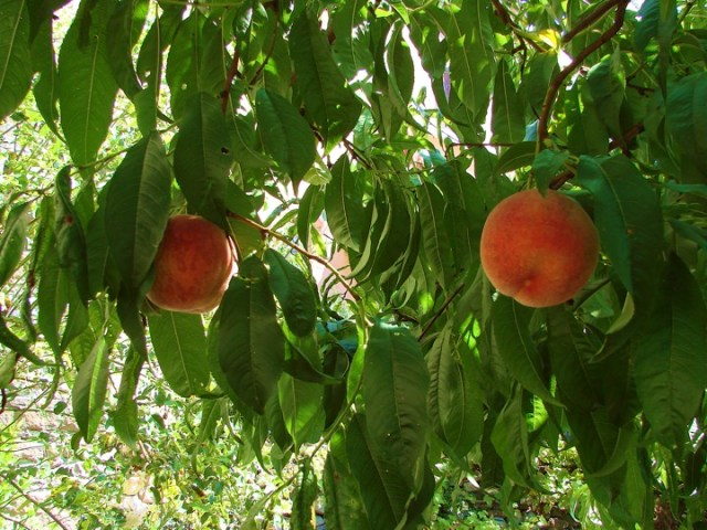 Peach Lovers