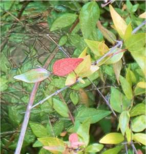 Bicolor Leaves