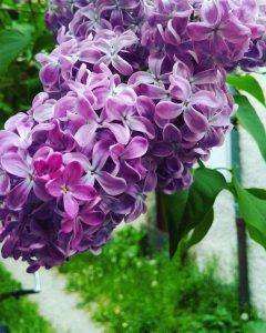 Lilac Fragrance