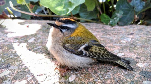 Firecrest Bird