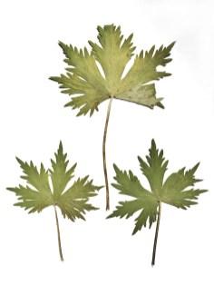 BotanicalsForPrinting15