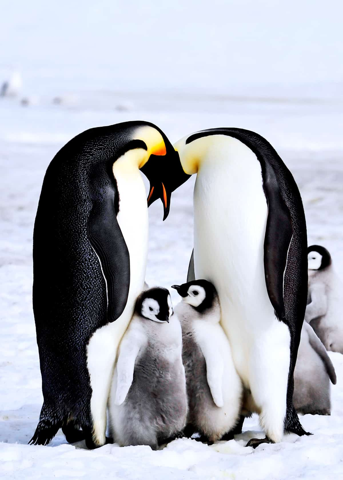 51 Baby Penguin Photos Videos And Facts That Will Have
