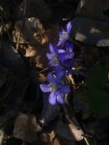 BLUE ANEMONE 6