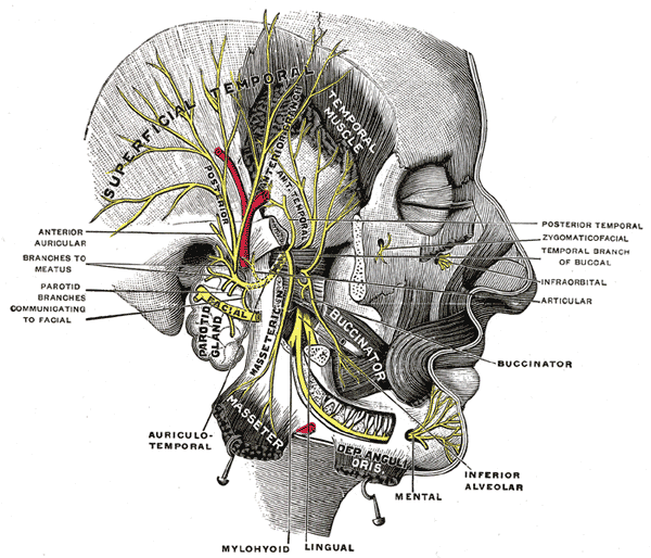 cross-section of facial nerves and bones