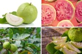 Eating guavas during pregnancy – Is it safe?