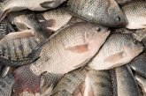 Why you should eat tilapia