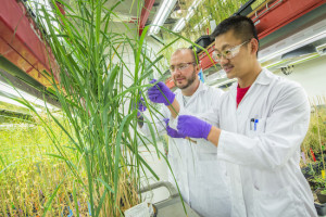Benjamin Schwessinger (left) and Jeemeng Lao of the Joint BioEnergy Institute led a study in which proteomics were used to identify 1,750 unique proteins in shoots of switchgrass. (Photo by Roy Kaltschmidt)