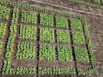 View of the field experiment in Urbana, Illinois. Tobacco plants modified to use light more efficiently had higher crop productivity than unmodified plants. (Credit: David Drag/University of Illinois)
