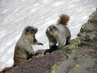 mt sauk marmot