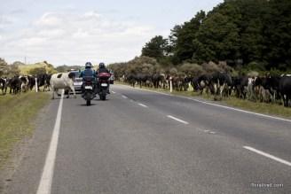 a-cow-walks-thru-it