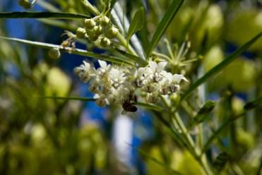whiteflowerbee