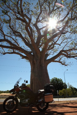 One impressive boab tree