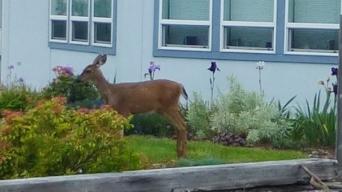 Deer next door