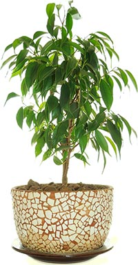 Ficus benjamina - Weeping Fig