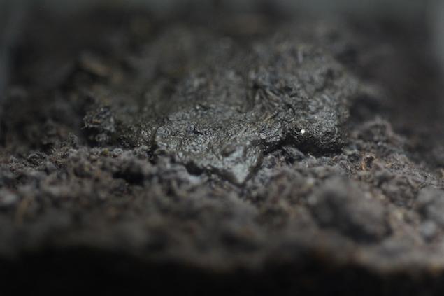 ヤコウタケの菌糸の発光