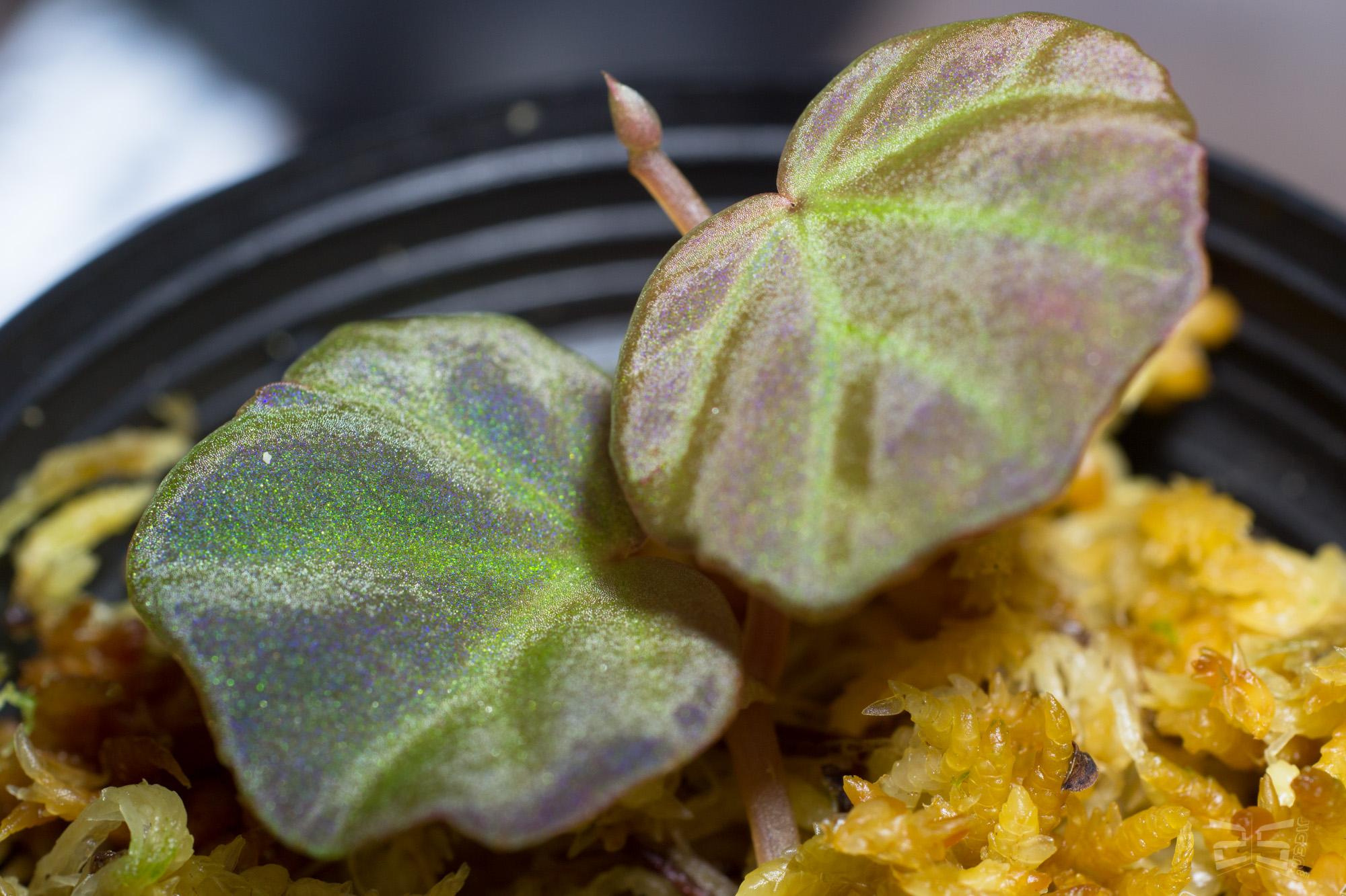 Begonia sp. Sarawak