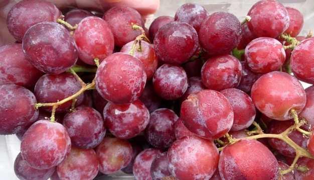 Risultati immagini per uva rossa