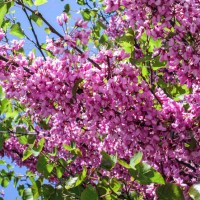 Acacia tree with pink blossoms 5