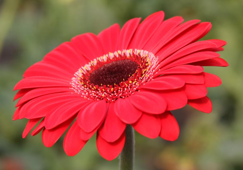 Fresh Gerbera Flowers Light Pink Gerbera Flowers Exporters Fresh Gerbera Flowers