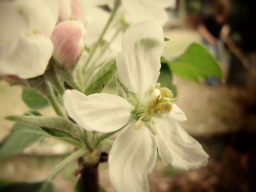 Apple Blossom (via leis bell)
