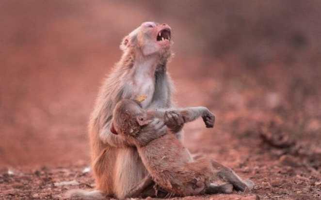 Devastated monkey