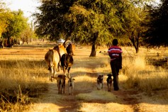 A boy drives his family's cattle from the bushveld back to the household kraal for the night.